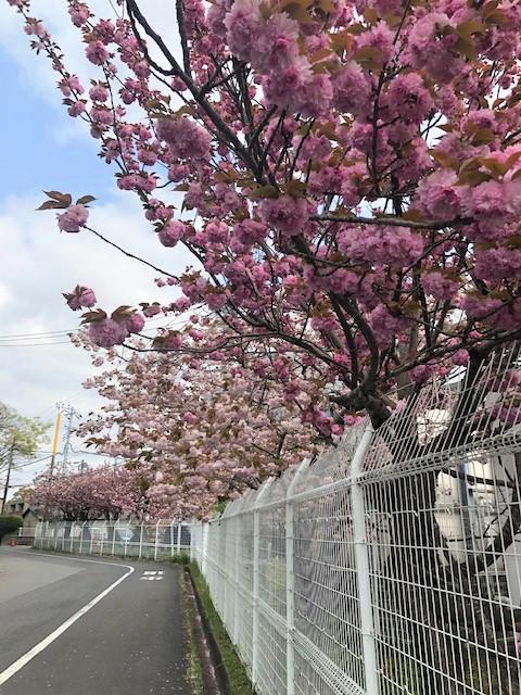 がんセンター八重桜
